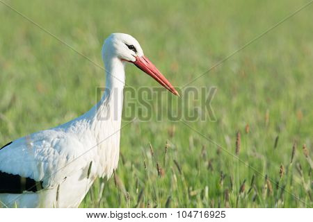 Portrait single stork standing in grass in the Dutch Eempolder