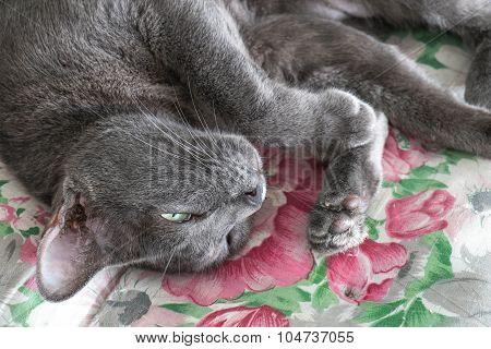 Close-up grey cat sleeping, selective focus