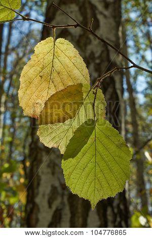 Autumn Leaves Of Hazel.