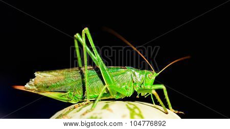 A grasshopper green isolated on black background