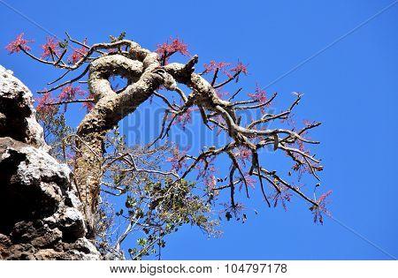Boswellia tree, a frankincense tree in blossom