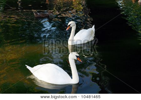 "white swan on to the pond, ""Cygnus atratus"" poster"
