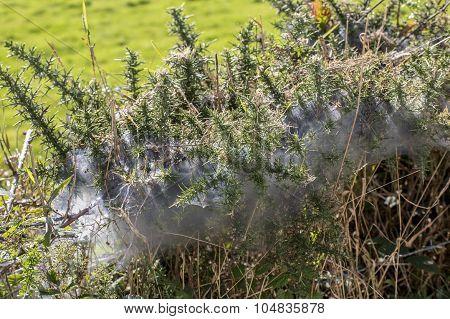 Spider Web Hedge