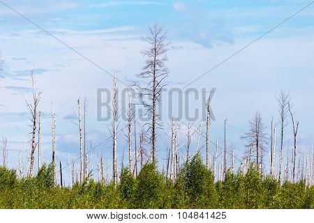 Landscape Forest, Fallen Trunks Of Trees Without Crowns, After The Heatwave And Fires In The Beautif