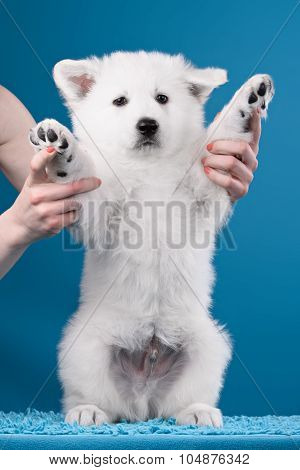 Beautiful puppy of White Swiss Shepherd Dog