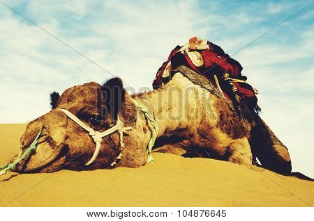 Cutest Camel Resting in the Desert Animal Concept