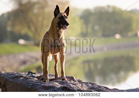 Cute Belgian Shepherd Dog