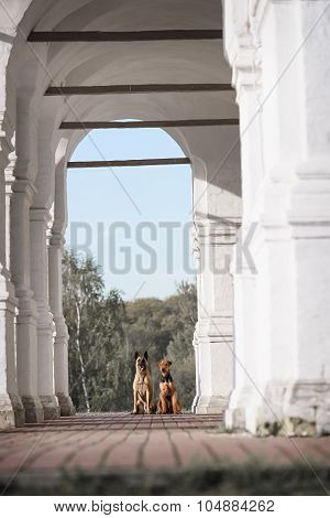 two dog Malinois and Airedale