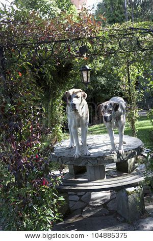 a vertical view of two mastiffs over the table of an arbour poster