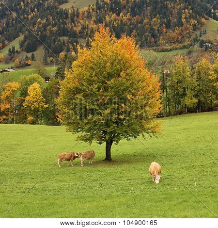 Colorful Beech Tree And Grazing Cows