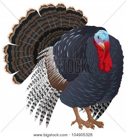 Black big Turkey bird male. Turkey for Thanksgiving
