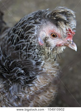 Breeds curly chicken in the farm