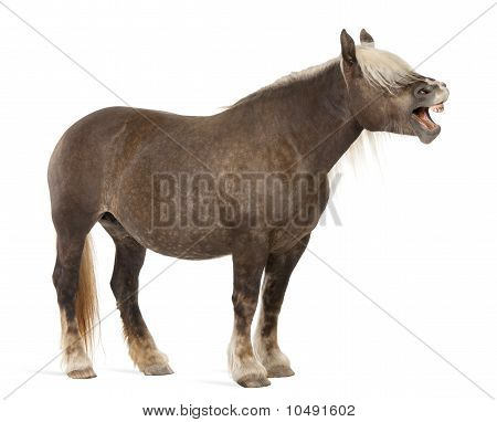 Comtois Horse, A Draft Horse, Equus Caballus, 10 Years Old, Standing With Mouth Open In Front Of Whi