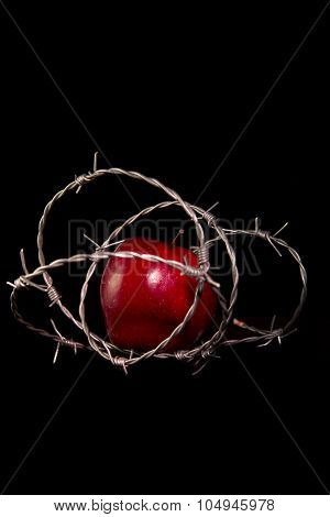 forbidden fruit : apple wrapped in barbed wire on black background