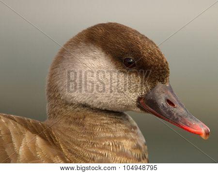 Red-crested female pochard duck, netta rufina