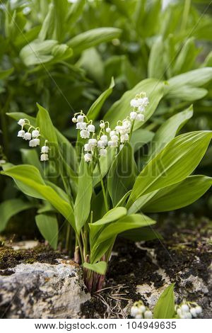 Blooming lily of the valley with with bell flowers growing on a wall