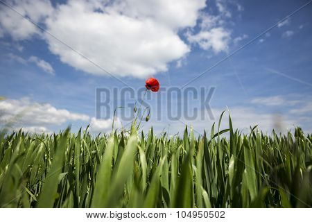 Lonely red possy flower sticking out from in a green wheat fiels