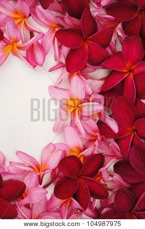 Beautiful Frangipani Flower Frame