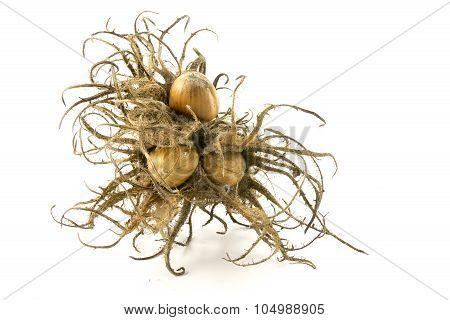 Turkish Hazelnut, Bristly Fruit Cluster And Nuts, Closeup  Isolated On  White