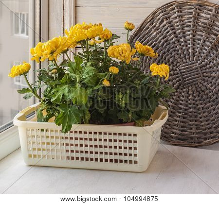 Yellow Chrysanthemums  On Window