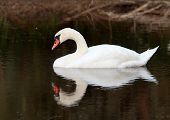 lonely nice white swan on lake (with reflection) poster