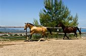 Two horses running on Spanish ranch with panoramic view in the background. poster