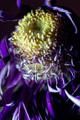Single macro image of a dying purple Chrysanthemum flower with a colorful background of complimentary purples and blue colors poster