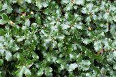 Kermes oak Quercus coccifera prickly green leaves poster