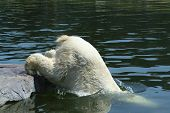 old polar bear cooling down in water poster