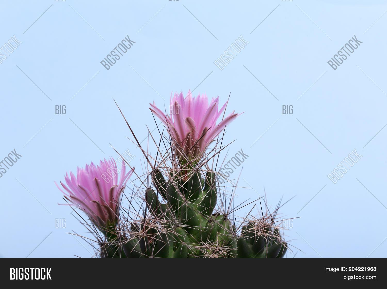 Beautiful small cactus image photo free trial bigstock beautiful small cactus with pink flowers flowering cactus macro mamillaria isolated on mightylinksfo