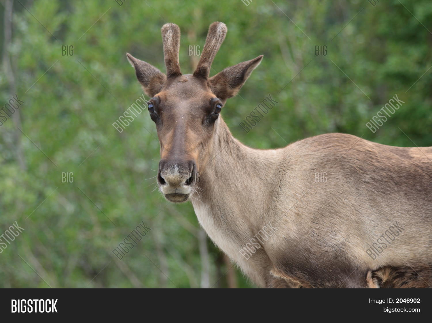 what is a female caribou called