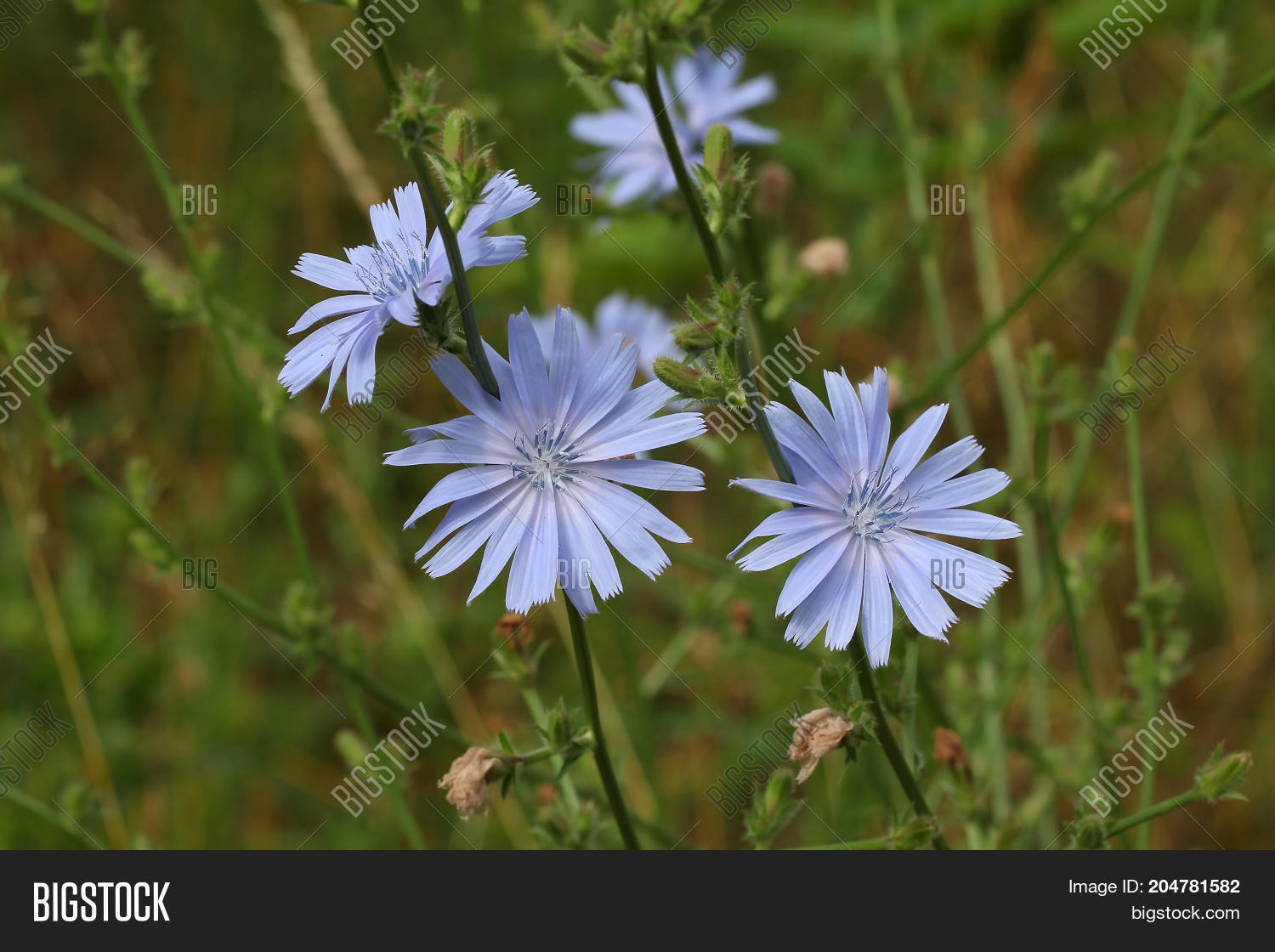 Chicory / blue flowers of chicory with latin name Cichorium on green nature background