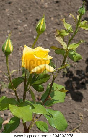 Branch Of Rose Bush With Three Buds And Half-opened Yellow Flower