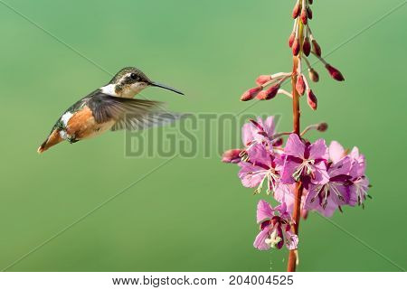 Hummingbird hover in mid-air in the garden over green summer background