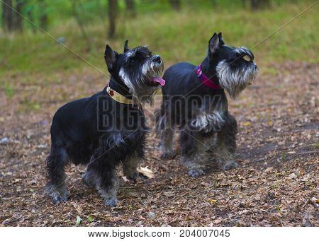 Miniature Schnauzer dogs. Portrait of a young miniature schnauzer on lawn