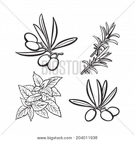 Olives, mint and rosemary herbs, spices, ingredients, black and white outline sketch style vector illustration on background. Realistic hand drawing of olives, mint and rosemary leaves
