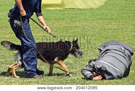 Police man and his dog arresting a criminal
