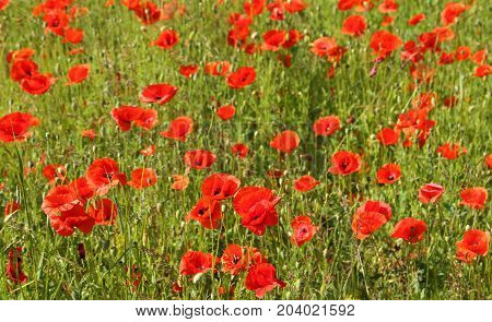 Poppy flowers in the meadow. Beautiful summer landscape.