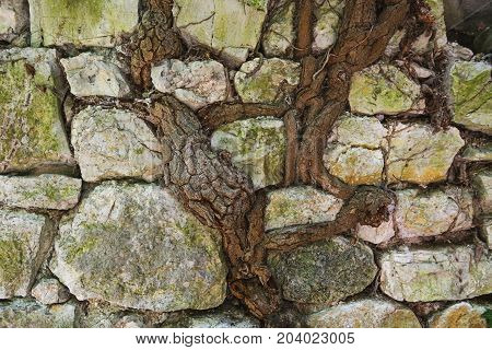 Roots of the grape plant united with the wall