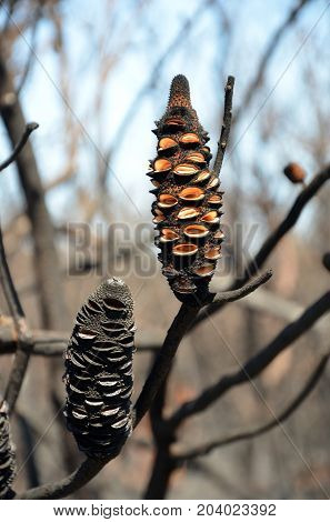 Burnt Banksia cones releasing seeds. Opened by a bushfire in heathland in Kamay Botany Bay National Park, NSW, Australia poster