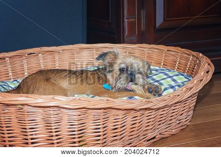 Puppy Brusselse Griffon is chewing on a bone in her basket