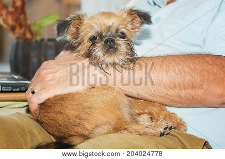 Puppy Brusselse Griffon lies delighted on her boss's lap.