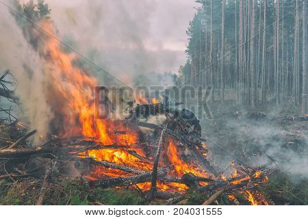 Branches of pine trees burn red strong fire with white smoke in a festering forest