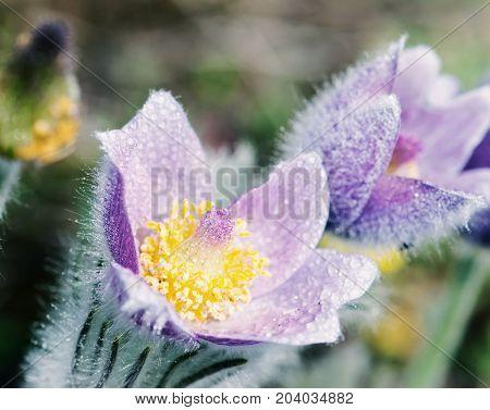 Macro shot of dewy purple pulsatilla slavica in the spring meadow. Close up natural scene. Blue photo filter.