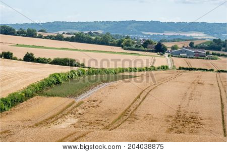 Wheat field crop farming. A rural English countryside farming scene across fields of wheat looking towards a distant fam.