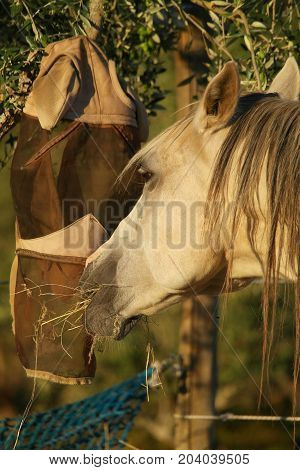 Luso-árabe horse chewing hay in the early morning sun!