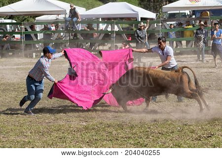 May 28 2017 Sangolqui Ecuador: young men holding cape front of a charging bull at a rural amateur bullfight in the Andes