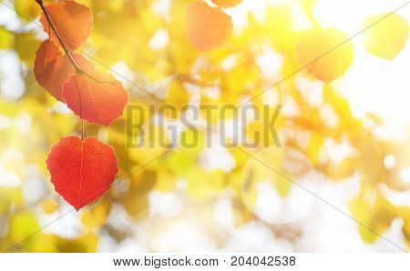 Natural bright background with colored aspen leaves