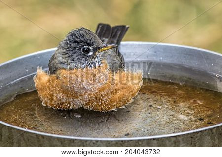 Robin wades in bird bath. A cute Robin is wading in a small bird bath.