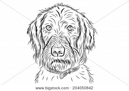 vector portrait of hunting dog (german wirehaired pointer) isolated on white background